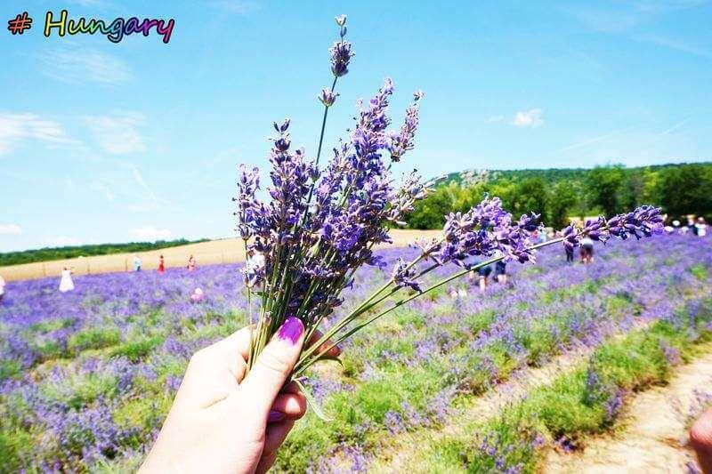 在地人推薦匈牙利私房觀光景點|來趟Top1絕美「薰衣草田之旅」